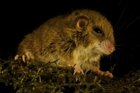Také tento druh hlodavce rodu Pogonomys byl pro  vědu dosud neznámý.
