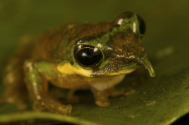 Nově objevený druh nosaté žáby rodu Litoria.