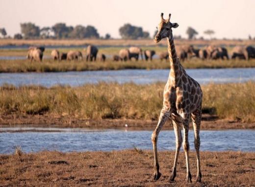 Comb Ducks on Lake, Savute Chobe National Park, Botswana без смс