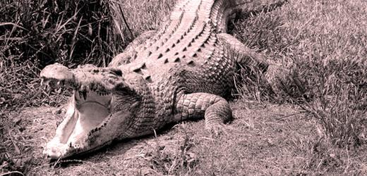 V Labi u Sebuzína se v červnu 1911 objevil krokodýl (ilustrační foto).
