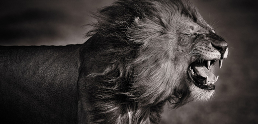 Velké africké kohout obrázky