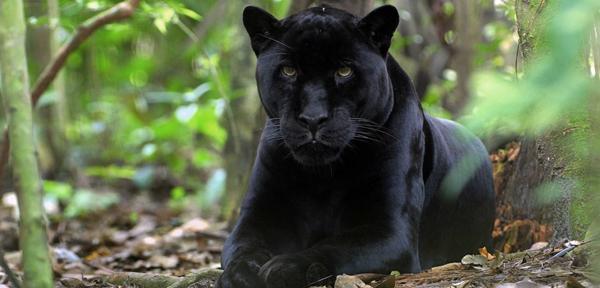 Puma Černá Mládě