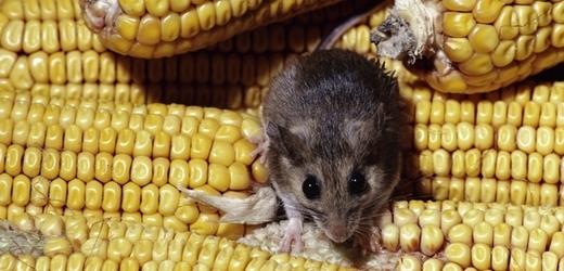 Geneticky modifikovaná kukuřice zabíjí? Pomalu s tou panikou.