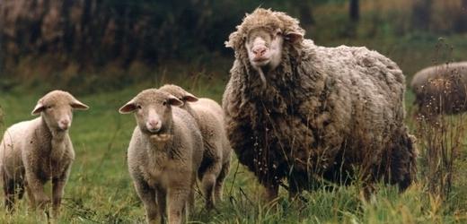 Uruguayské ovce jsou speciální (ilustrační foto).