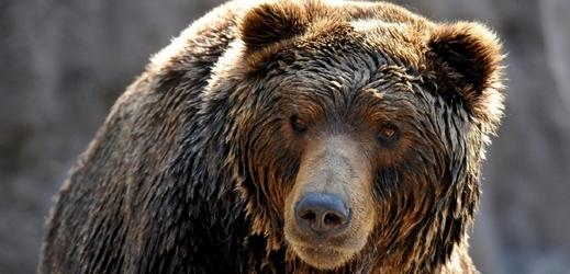 Medvěd kamčatský z brněnské zoo.