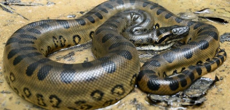Výsledek obrázku pro anakonda