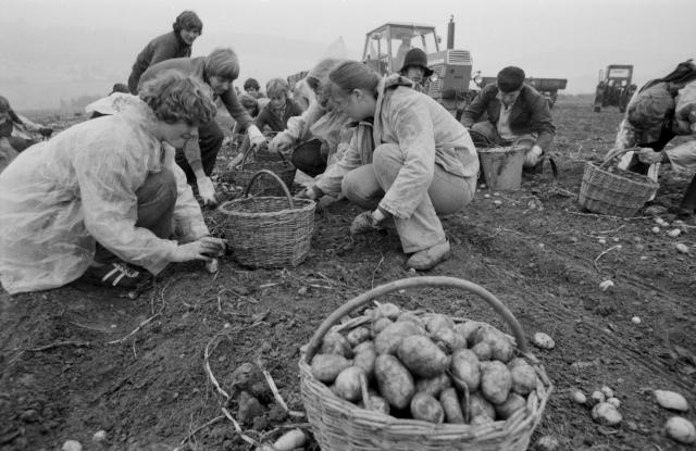 Výsledek obrázku pro sbírání brambor