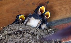 Hnízdo s vlaštovčími mláďaty.