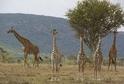 Žirafy jsou v Africe přistěhovalci.