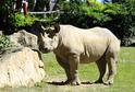 Samice nosorožce jménem Eliška ve Dvoře Králové.