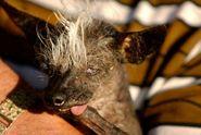 FOTO: Nejošklivějším psem světa je křivonohá čivava