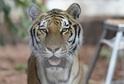 """Tygr, kterému měli být běženci """"předhozeni""""."""