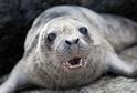 Vyděšený mladý tuleň prchal před hladovými kosatkami (ilustrační foto).