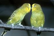 Vědci zjistili, proč se ptáci ve vzduchu nesrazí