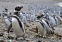 Tučňák magellanský dorůstá velikosti 60 až 70 cm a váží 3,5 až 5 kg.