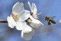Mandloň obecná patří spolu s broskvoní, třešní nebo švestkou do rozsáhlého rodu Prunus.