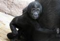 Sameček gorily nížinné Ajabu oslavil v pražské zoo své první narozeniny.