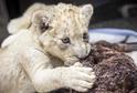 Jihoafrický bílý lev, který se narodil v zajetí v ZOO Dvorec.