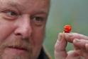 pěstitel Mike Smith (na snímku) z Walesu prý zcela náhodou vypěstoval nejpálivější druh chilli papričky na světě.