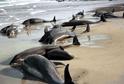 Moře u ukrajinského města Oděsa vyplavilo desítky uhynulých delfínů.