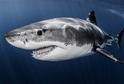Velký bílý žralok při skoku do člunu vážně poranil rybáře (ilustrační foto).