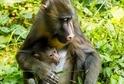 U mandrilů rýholících se narodilo další mládě.