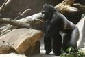 Gorilí samec Richard z pražské zoo.