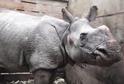 Zachráněný nosorožec.