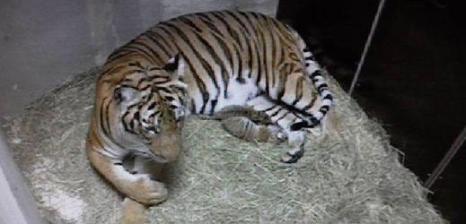 V pražské zoo se narodila tygří mláďata.