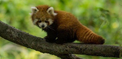 Mládě pandy červené z ostravské zoo je sameček.