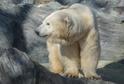 Dnes má zoo tři lední medvědy, desetiletého samce Toma a dvě samice - Boru a Bertu.