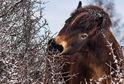 Rezervaci v Milovicích opustí deset hřebců, kteří se zde narodili v roce 2016.