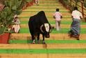 Krávy jsou nedílnou součástí hinduismu.