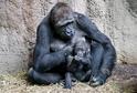 Gorila nížinná.