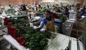 Kolumbie je zdrojem 74 procent květin dovážených do USA.