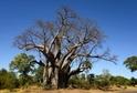 Do džusů podnikatelka používá i plody baobabů.