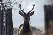 Jelen na Šumavě zranil turistu. Zvíře utratí