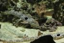 V jednom z obřích akvárií se v tomto období páří žralůčci okatí.