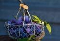 Slivoně jsou ve srovnání s jabloněmi nebo třešněmi odolnější vůči mrazům.