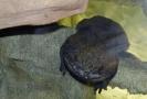 mezi kriticky ohrožené druhy, které Zoo Praha chová, patří i velemlok čínský.