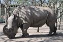 V Keni uhynul poslední samec nosorožce severního bílého.