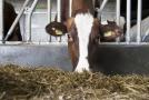 Kráva (ilustrační snímek).