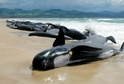 Na pobřeží Austrálie uvízlo 150 kulohlavců.