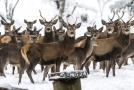 Šumavský park zakáže na části svého území lov jelenů (ilustrační foto).