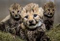 Gepardí mláďata, která se narodila ve dvorské zoo.