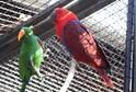Papoušek Eclectus roratus