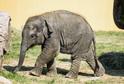 Sameček slona indického Chandru.