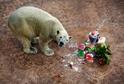 Inuka, první polární medvěd narozený v tropech.