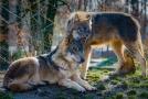 Vlci (ilustrační foto).