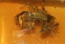 Dělník v dole v jihomexickém státu Chiapas nalezl v kusu jantaru přibližně centimetrovou žábu.